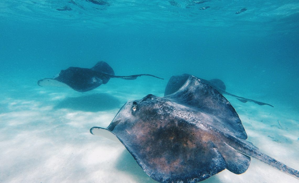 stingray-city-antigua