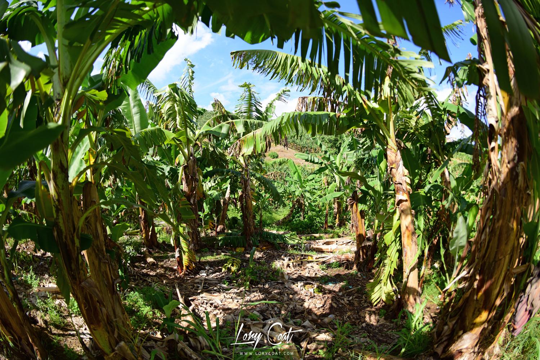 Banane-Guadeloupe-Martinique
